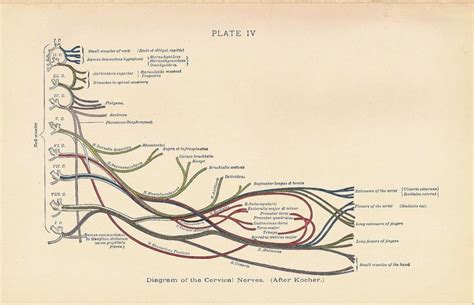 diagram of nerves in neck 17 best ideas about neck anatomy on