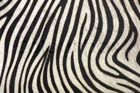 zebra pattern texture black and white texture of zebra skin stock photo