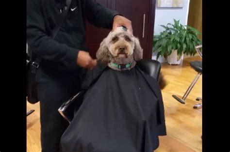 human hair dog cut pics this dog sits in a salon chair to get a haircut and is the