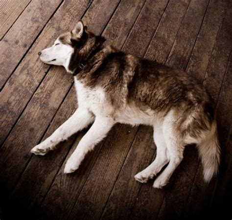 dogs lying what does your s sleeping position say about them