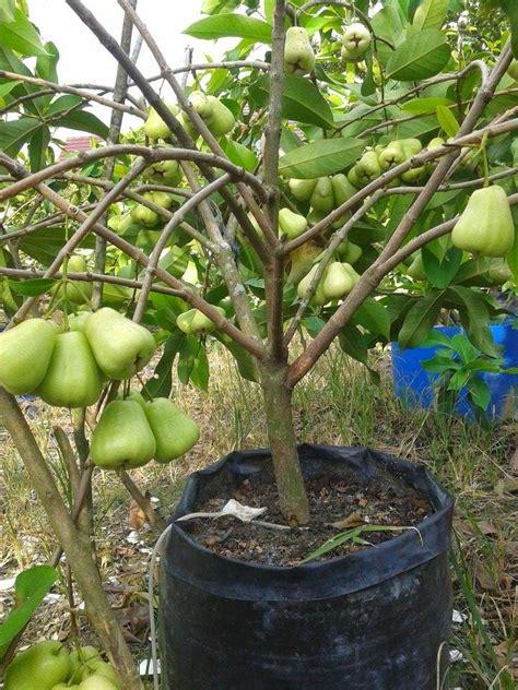 Bibit Alpukat Di Blitar kung organik blitar terima pesanan bibit buah buahan