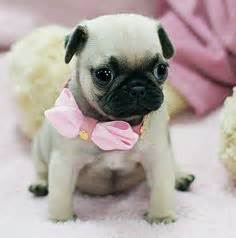 Cute Pugs For Free » Home Design 2017