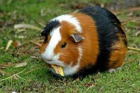 Room Temperature For Guinea Pigs by 10 Interesting Guinea Pig Facts Interesting Facts