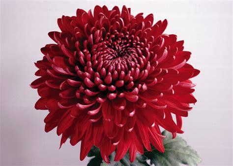 Chrysanthemum by The Amazing Red Chrysanthemum Meaning Chrysanthemums Org