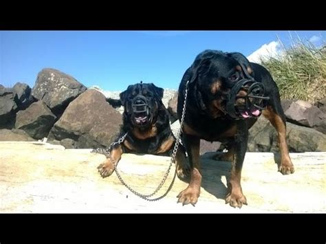 rottweiler attack in india rottweiler attacking are rottweilers dangerous tds funnydog tv