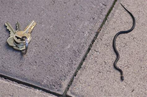 black snake with orange ring around neck black snake with orange ring around neck poisonous