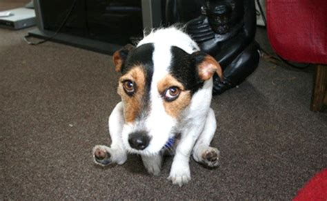 Why Do Dogs Scoot Across The Floor by Glands Can Be A In The Pet Health Central