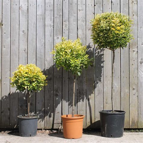 topiary care image gallery tree standards