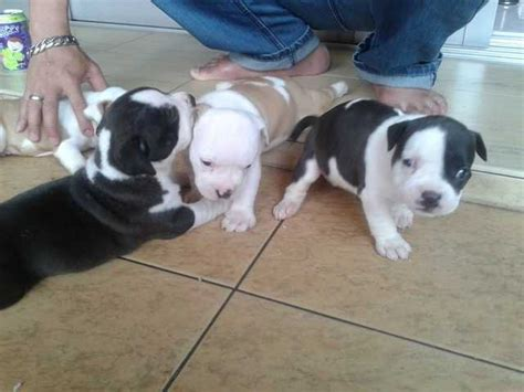 american bully puppies for sale in ohio american bully s puppies for sale for sale adoption from selangor breeds picture