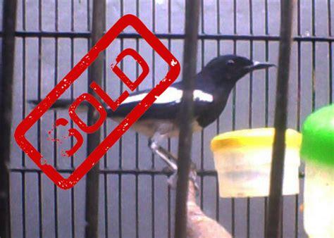 Pakan Burung Ciblek Spesial Sempati 1 kacer jawa barat muda pasar burung bogor