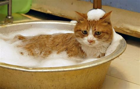 how to give a cat bath