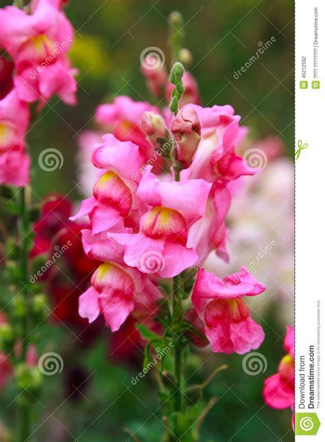 foto fiore bocca di primo piano fiore di bocca di fotografia stock