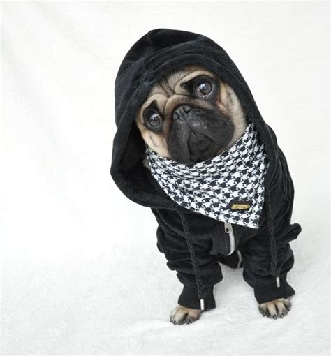 pug clothing for humans pug dressed up in human clothes becomes sensation daily