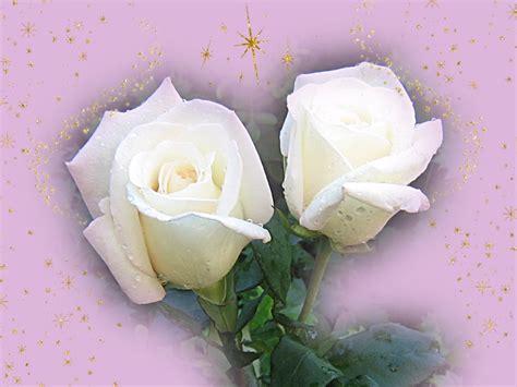 imagenes d erosas blancas fondos de navidad rosas blancas fondos de pantalla de