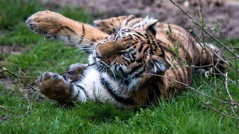 bild kinderzimmer tiger baby tiger muss sein kinderzimmer verlassen bild de