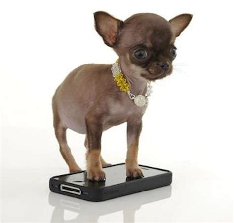 world s smallest puppy most smallest in the world www imgkid the image kid has it
