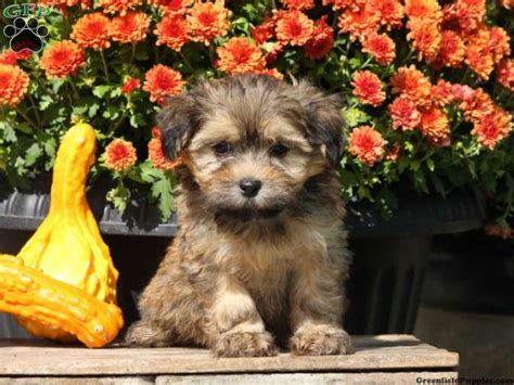 havanese puppies in pa top 25 ideas about havanese puppies for sale on havanese puppies