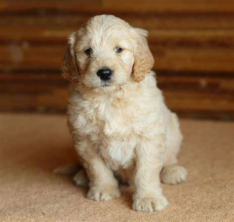 goldendoodle puppies for sale buffalo ny goldendoodle for western ny breeds picture