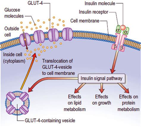 Teh Insulin insulin on peripheral cells medicine hack