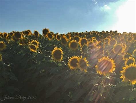 grinter farms five tips for visiting grinter farms sunflower field in