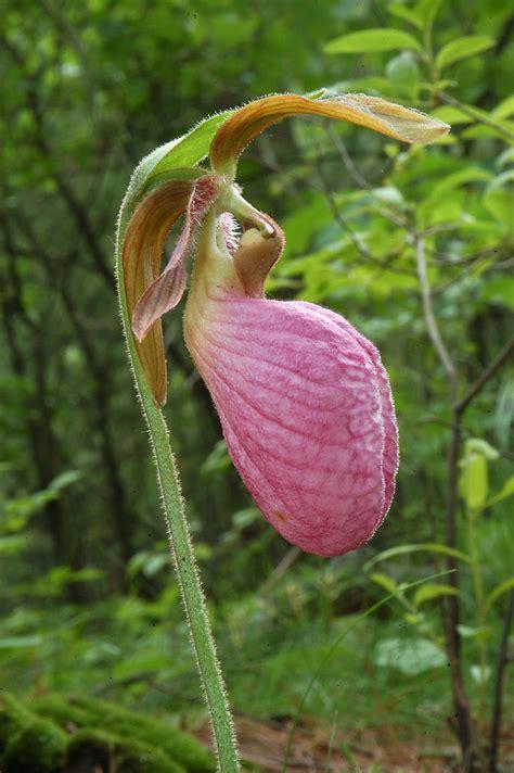 slipper flower massachusetts slipper flower massachusetts 28 images 25 best ideas