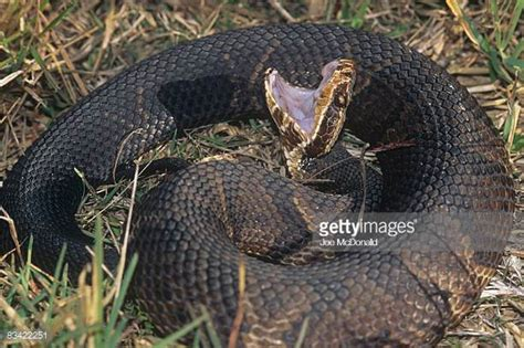 Images Of Cottonmouth Snakes