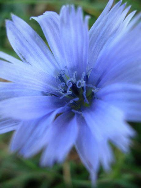 fiore azzurro il fiore azzurro immagine gratis domain pictures