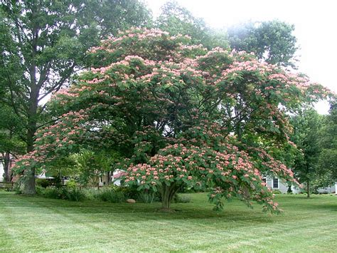 Flowers That Grow Fast From Seed - we don t plant certain trees in las vegas landscaping