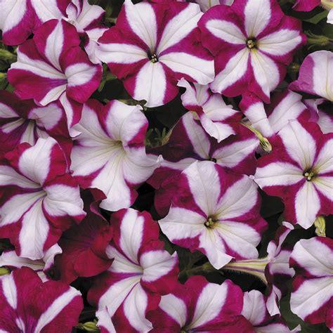 easy wave burgundy star petunia seeds