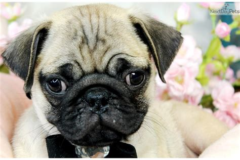 pug puppies in florida pug pug puppy for sale near west palm florida c35bd40c 3751