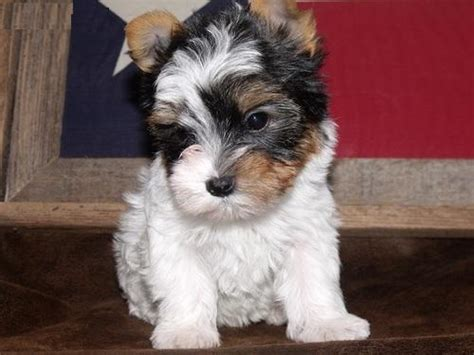 adorable teacup yorkie puppies for adoption and adorable teacup yorkie puppies for adoption fishers in asnclassifieds