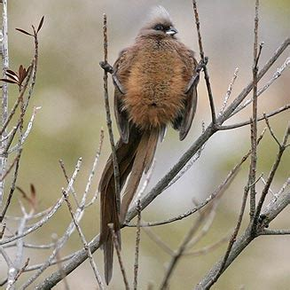 colius striatus speckled mousebird