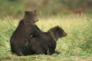 grizzly bear cubs playing photographer s stunning images capture beauty of bear
