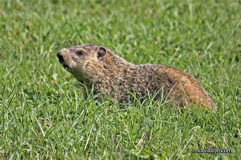 i have a groundhog in my backyard squirrel holes in lawn how to stop squirrels
