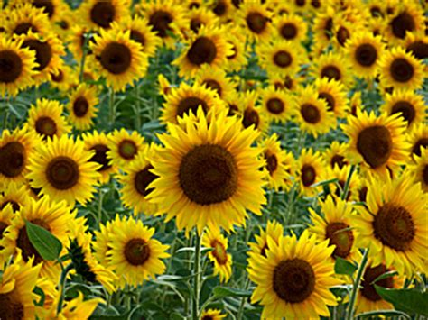 sunflower patch all my little words july 2004