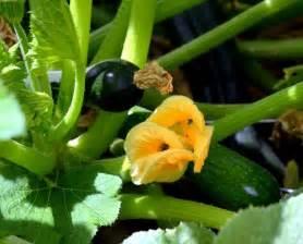zucchine in vaso coltivazione zucchini ortaggi