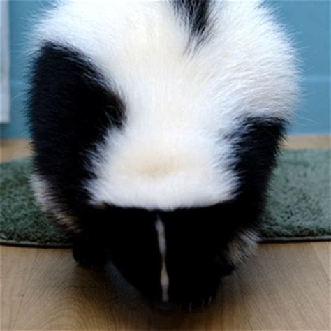 how to get skunk smell out of house and dog top 20 ideas about flooring on pinterest carpets cats and how to get