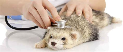 Is my Ferret Sick?   Long Island Pet Pages