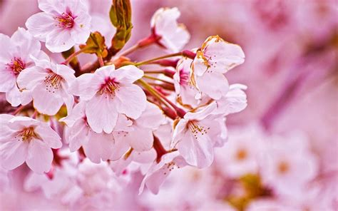 wallpaper hp bunga sakura gambar wallpaper bunga sakura jepang cantik caption