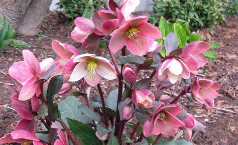 related keywords suggestions for lenten rose