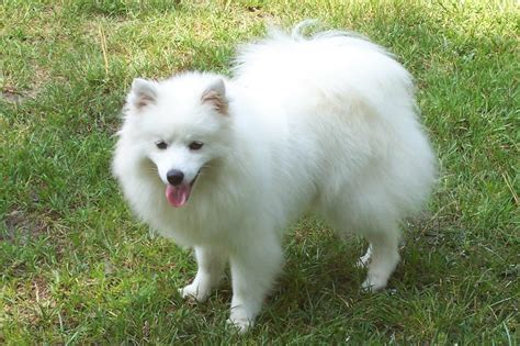 American Eskimo Shed by American Eskimo Breed 187 Information Pictures More