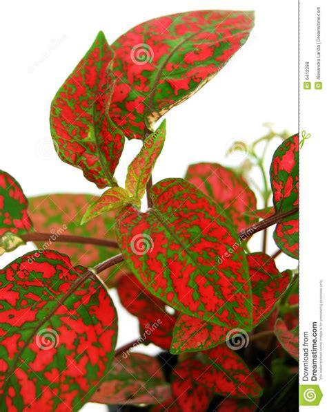 imagenes verdes y rojas hojas rojas de la planta verde fotos de archivo libres de