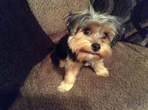 yorkie tipped ears hair cuts for floppy eared yorkies hairstylegalleries
