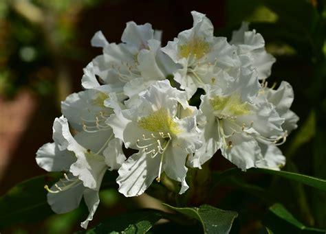 rhododendron hecke rhododendren duftende hecken baumschule buten in geeste