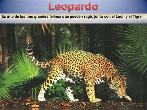 el tigre y el le 243 n pueden ser los m 225 s fuertes pero el fauna africana3parte