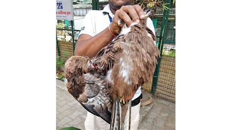 manja clips wings of close to 100 birds in a day