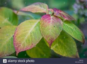 Flower Picture Downloads - hydrangea leaves turning red in autumn stock photo