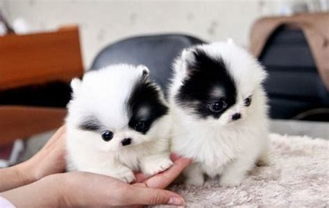 cheap pomsky puppies for sale pomsky puppies for sale near me pomsky