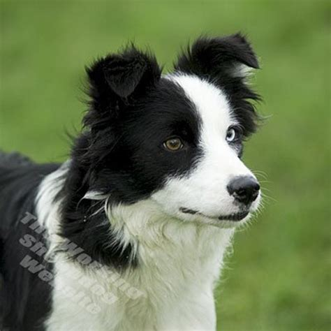 sheepdog puppy black white sheep