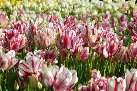 fiore tulipani tulipani piante per giardino coltivazione e cura dei